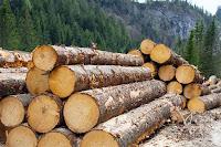 Bir ormanda üst üste yığılmış çam tomruklar