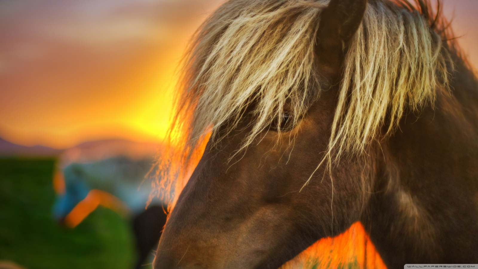 Top   Wallpaper Horse Sunrise - flaxen_horse_at_sunrise-wallpaper-1600x900  Perfect Image Reference_295434.jpg