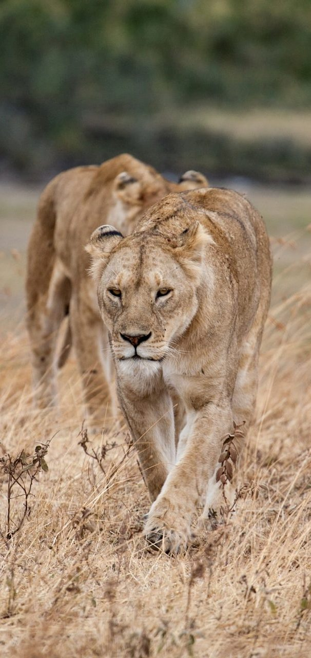 Lionesses on the prowl.