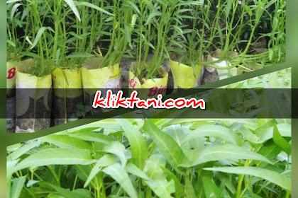 Cara menaman Kangkung di Pot (Polybag) Agar Bisa Tumbuh Dengan Sehat Sempurna