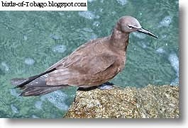 Brown Noddy (Anous stolidus) Seabird Birds of Tobago