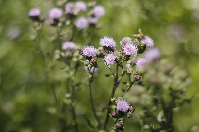 Purple Cluster of Flower Heads