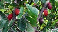 gambar buah coklat, kakao