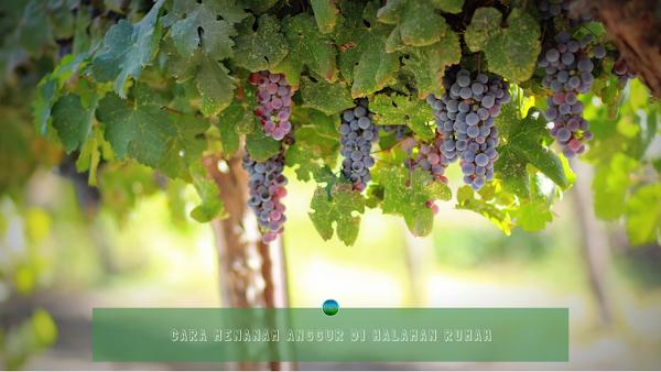 Cara Menanam Anggur Di Halaman Rumah