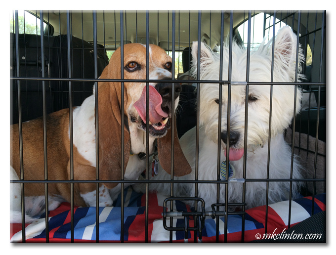Bentley Basset Hound and Pierre Westie ride in their kennel inside our car