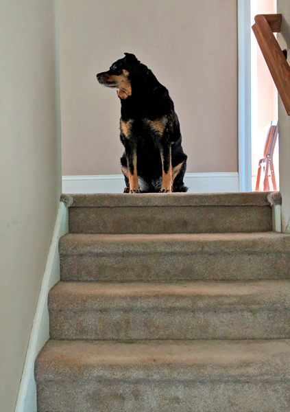 image of Zelda the Black and Tan Mutt sitting at the top of the stairs, looking to one side