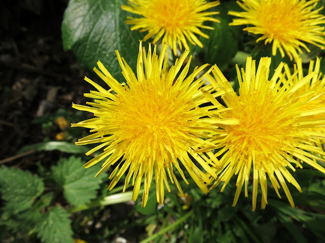 Dandelion flowers close to.