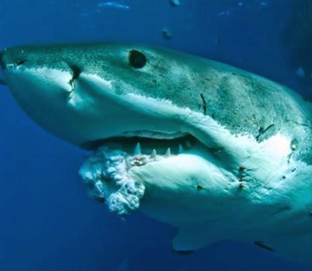 Blog Do Professor E Biólogo Edris Queiroz Tubarões Mitos E