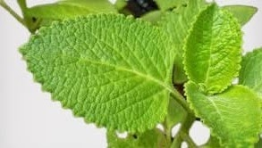 Use mint to stay healthy