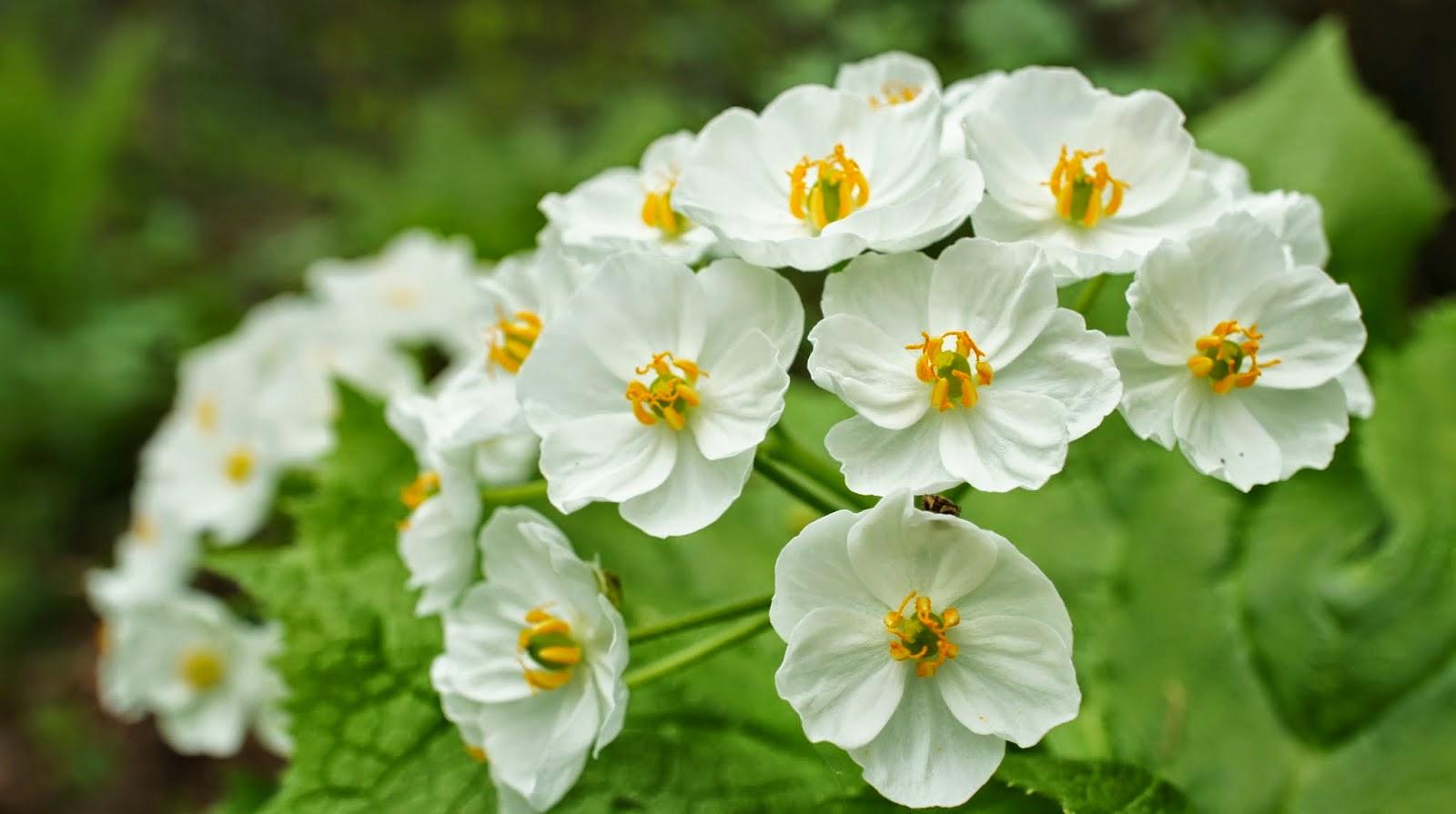 0b Diphylleia grayi, Bunga Ini Akan Berubah Transparan Jika Terkena Air