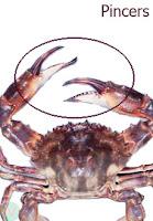 pincer, crab pincer