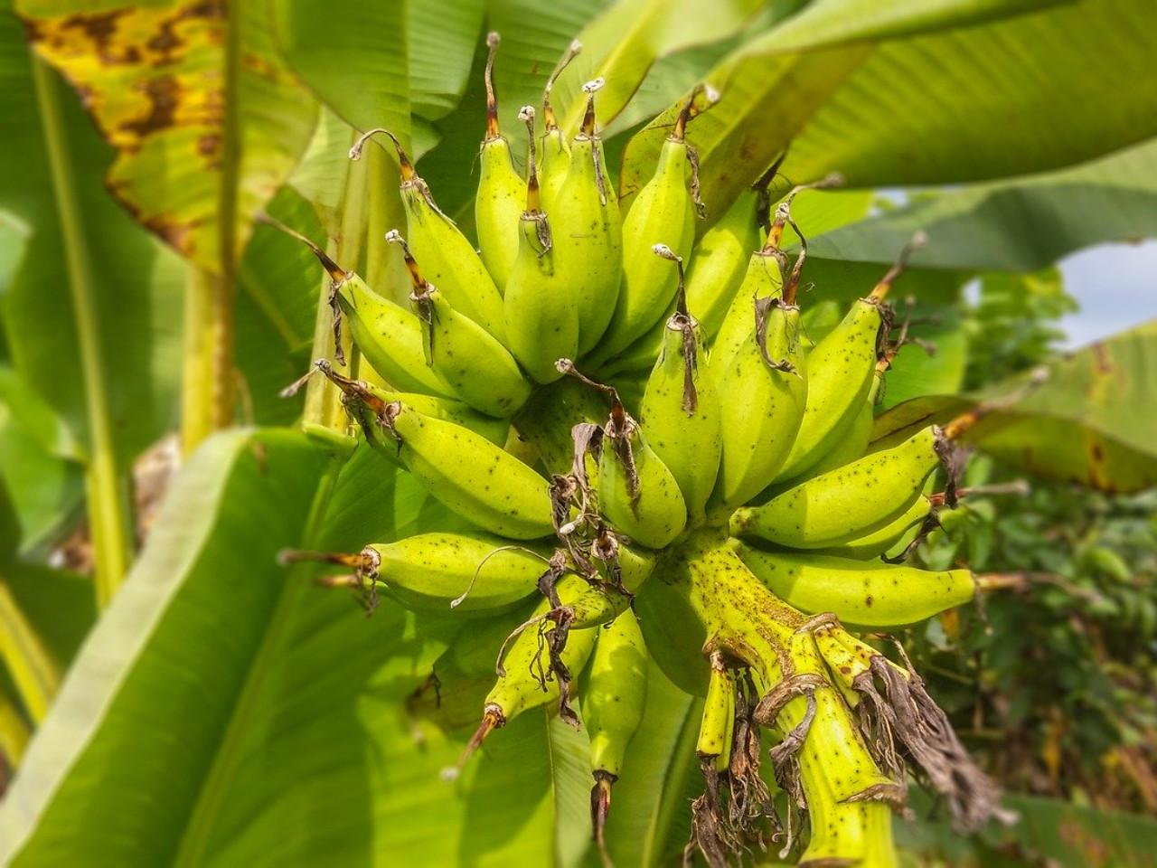 pohon-pisang-tidak-terkena-penyakit.jpg