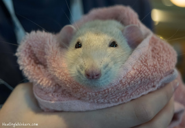 Oliver the Therapy Rat in a burrito