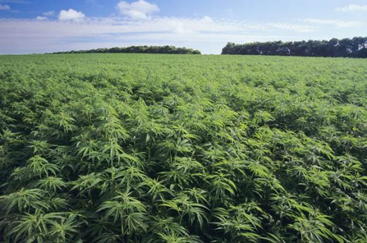 Perusahaan di Selandia Baru Cari Petani Ganja Profesional