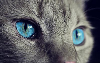 Gambar kucing peliharaan paling mahal di dunia