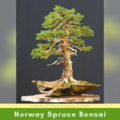 Norway Spruce Bonsai