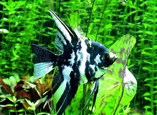 Jnis Marble Angelfish