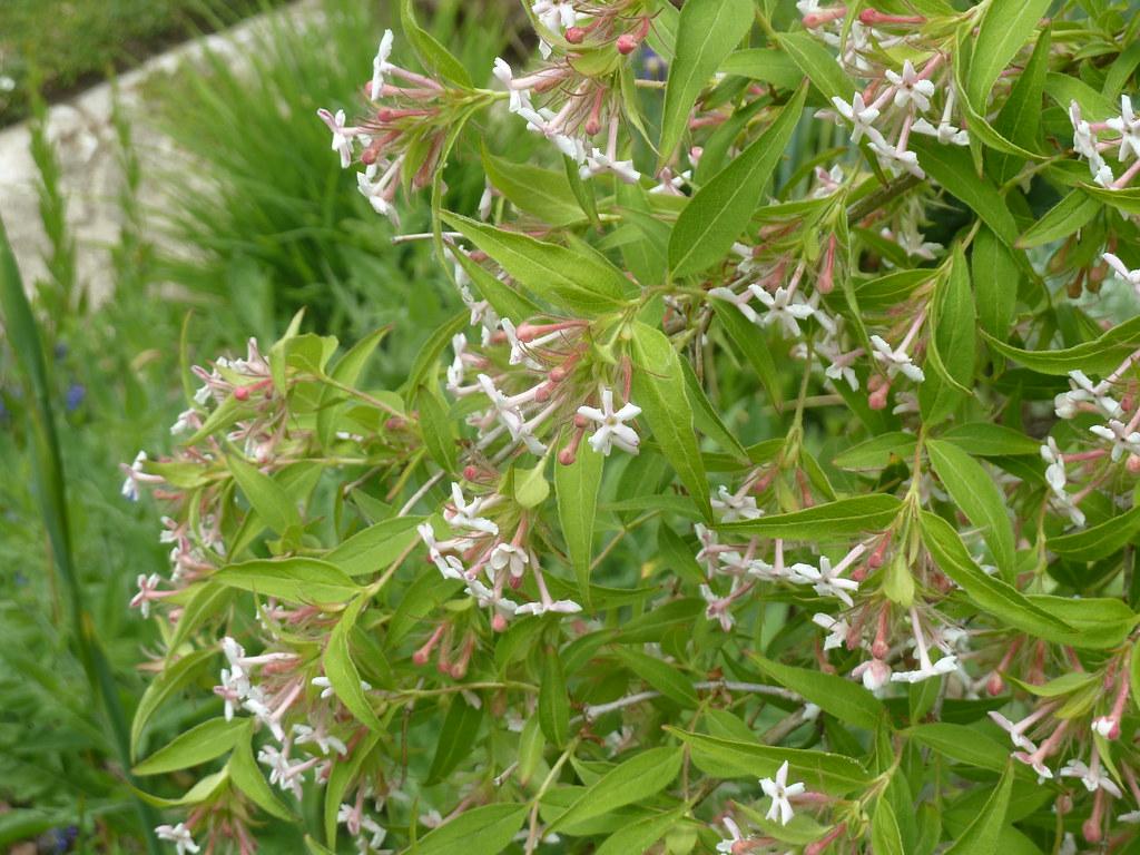 Abelia Plant Care And Culture Travaldos Blog