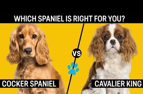 cavalier-king-charles-spaniel-vs-cocker-spaniel