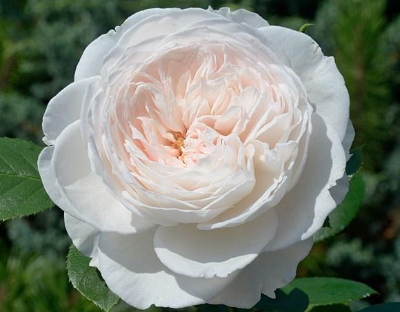 Herzogin Christiana сорт розы фото