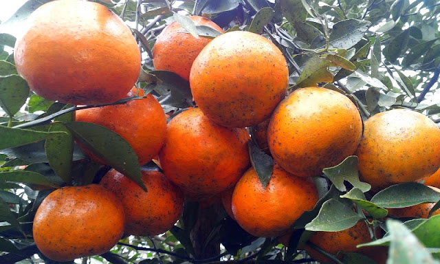 Bac Quang orange in Ha Giang 3