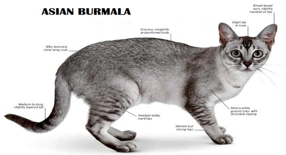 81 Jenis Kucing Yang Ada Di Dunia Ini