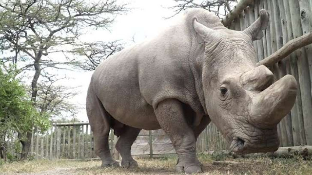 UK rhino eggs 'could save species'