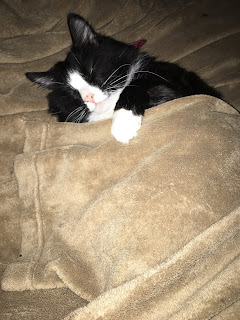 A long haired black and white cat (Jakey) snoozes peacefully under the edge of a tan fleece blanket that he is also sleeping on. One paw is curled over the edge the blanket, as in the often seen storybook pose.