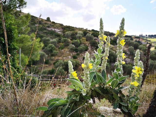 Le piante che crescono in gravina a Ginosa