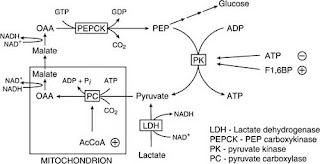 Interconversion of phosphoenolpyruvate