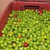 Acerola verde amplia renda de irrigantes em Sergipe