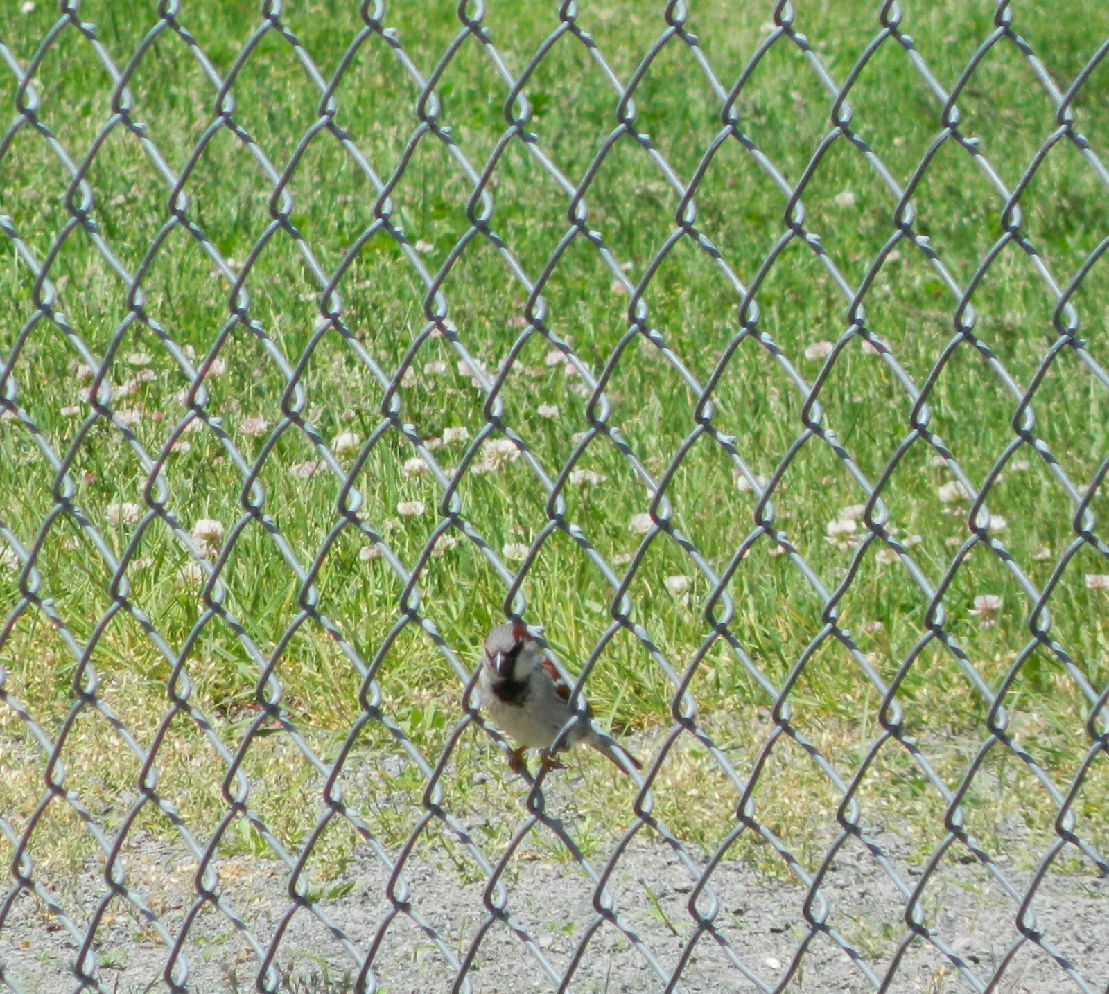 Cape Cod Bird Nerd: May 2015