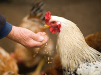 How to Start a Successful Chicken Farming Business