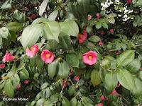 Pink camellias, Kyoto, Japan