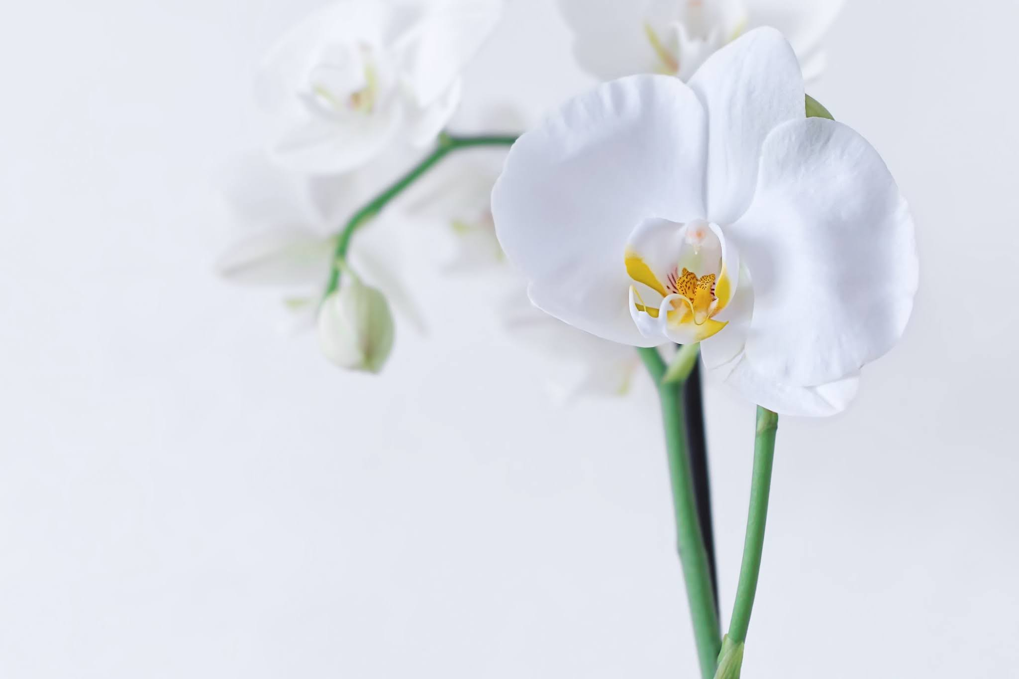 Stock photo of a white Moth Orchid plant