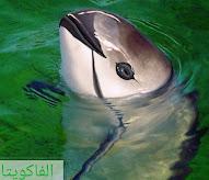 حيوانات مهددة بالانقراض ، فاكويتا
