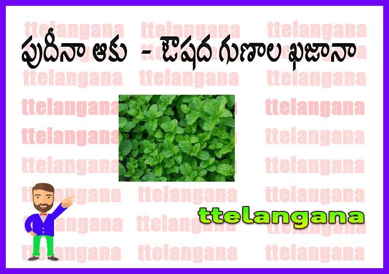 పుదీనా ఆకు  - ఔషద గుణాల ఖజానా