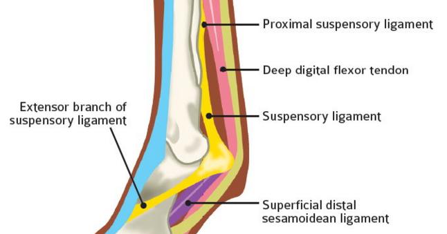 ArcEquine says...: Horse Injury Treatment - Suspensory Ligament