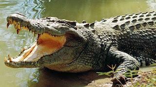 Alligatore attacca bimbo di 2 anni e se lo porta sul fondo