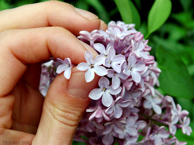 szczęśliwy kwiat bzu
