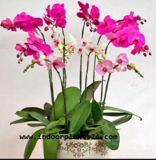 Orchidaceae indoor house plant image