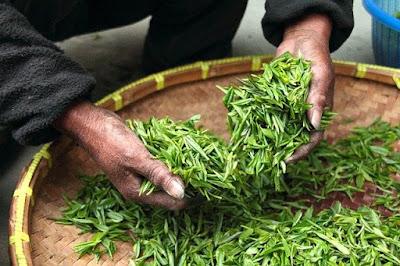 Manfaat daun teh hijau.