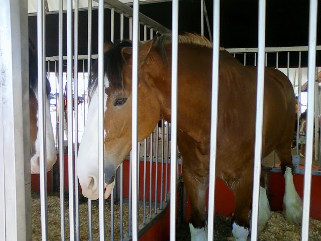 Budwesier Clydesdale