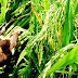 Berkat Senapan Angin, Petani di Ngawi Berhasil Bunuh Ratusan Ekor Tikus Sawah