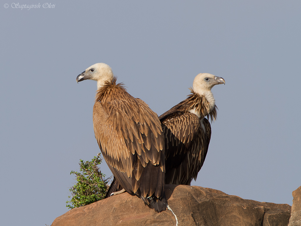 The Griffon Vulture | Wild Bird | The Wildlife