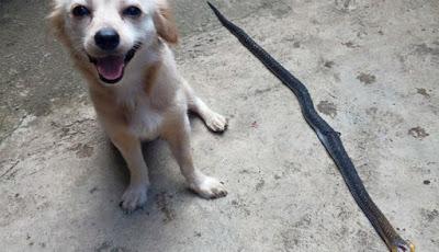 Anjing rumahan bunuh ular kobra