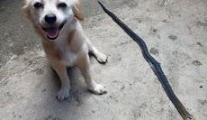Anjing Selamatkan Keluarga Pemiliknya dengan Membunuh Kobra
