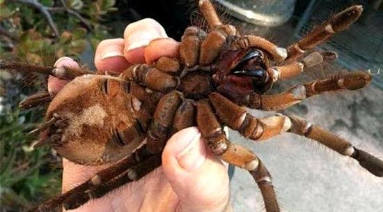 Maior Aranha do Mundo vive no Brasil-  Aranha Golias comedora de pássaros - Img 3