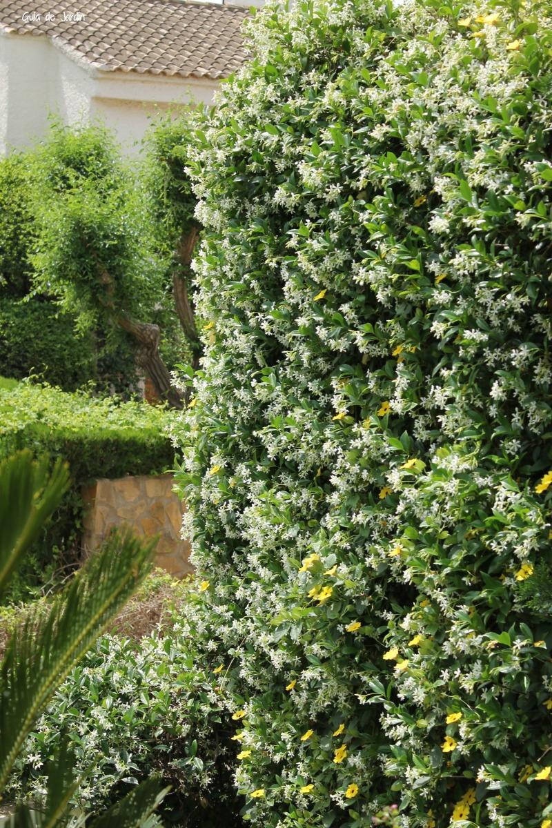 Trachelospermum jasminoides y Thunbergia alata