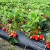 Manfaat Strawberry bagi kesehatan Tubuh